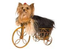 Perrito lindo de Yorkie en la mini bici marrón foto de archivo libre de regalías