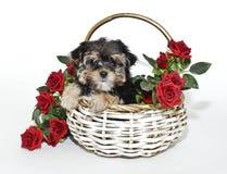 Perrito lindo de Yorkie Poo fotos de archivo libres de regalías