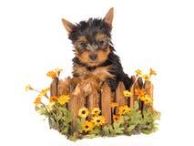 Perrito lindo de Yorkie que se sienta dentro de plantador del daisie fotografía de archivo libre de regalías