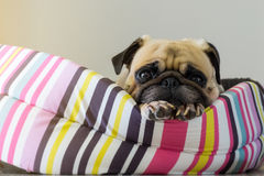 Perrito lindo del barro amasado del perro del primer que descansa sobre su cama y que mira a la cámara Foto de archivo