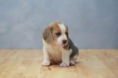 Perrito lindo del beagle en la acción Imagen de archivo