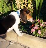 Perrito lindo del beagle que huele algunas flores del rosa Imagen de archivo