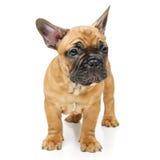 Perrito lindo del dogo francés Fotografía de archivo