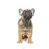 Perrito lindo del dogo francés Fotografía de archivo libre de regalías