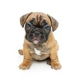 Perrito lindo del dogo francés Fotos de archivo libres de regalías