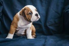 Perrito lindo del dogo inglés Imagen de archivo libre de regalías