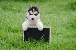 Perrito lindo del husky siberiano que lleva a cabo al tablero negro Fotografía de archivo libre de regalías