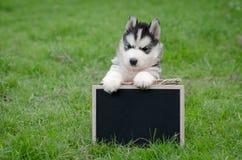 Perrito lindo del husky siberiano que lleva a cabo al tablero negro Foto de archivo
