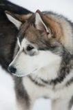 Perrito lindo del Malamute de Alaska imagen de archivo