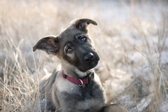 Perrito lindo del pastor alemán que se sienta en la hierba. Imágenes de archivo libres de regalías