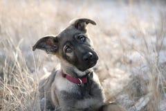 Perrito lindo del pastor alemán que se sienta en la hierba. Foto de archivo
