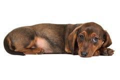 Perrito lindo del perro basset visto del lado que se acuesta en el piso Fotografía de archivo libre de regalías