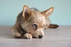 Perrito lindo del perro de la mezcla con un ojo del bleu imagen de archivo