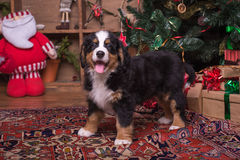 Perrito lindo del perro de la montaña que se sienta cerca del árbol de navidad foto de archivo