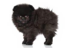 Perrito lindo del perro de Pomerania Foto de archivo