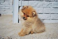 Perrito lindo del perro de Pomerania Imagen de archivo