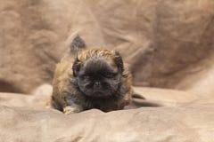 Perrito lindo del perro del pekinés Imagenes de archivo