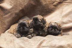 Perrito lindo del perro del pekinés Fotografía de archivo