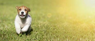 Perrito lindo del perro que corre a la cámara Imagen de archivo libre de regalías