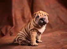Perrito lindo del sharpei Fotos de archivo libres de regalías