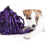 Perrito lindo del terrier de russell del gato foto de archivo libre de regalías