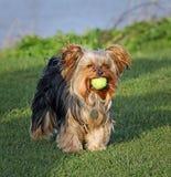 Perrito lindo del terrier de Yorkshire con la bola Foto de archivo libre de regalías