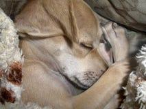 Perrito lindo el dormir Foto de archivo