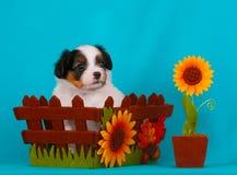 Perrito lindo en cesta del otoño Razas del perrito de Phalen Imagenes de archivo