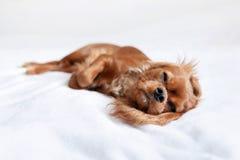 Perrito lindo en la cama imágenes de archivo libres de regalías