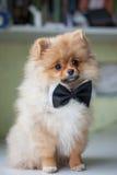 Perrito lindo Pomeranian en una corbata de lazo Imágenes de archivo libres de regalías