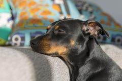 Perrito lindo que dormita apagado Foto de archivo libre de regalías