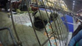 Perrito lindo que juega activamente en la jaula, para cola que espera en la exposición canina, animales domésticos agradables metrajes