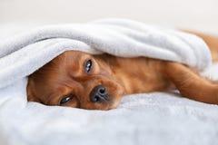 Perrito lindo que se relaja debajo de la manta imágenes de archivo libres de regalías
