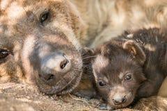 Perrito manchado de la hiena con su madre en el Kruger Imagen de archivo libre de regalías