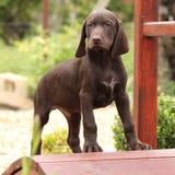 Perrito marrón agradable en el pequeño puente del jardín Fotos de archivo