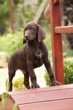 Perrito marrón agradable en el pequeño puente del jardín Fotografía de archivo libre de regalías