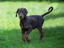 Perrito marrón joven del doberman en hierba verde foto de archivo