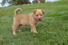 Perrito marrón lindo de la mezcla del perro del canto de Nueva Guinea Fotos de archivo