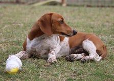 Perrito marrón y blanco lindo del perro basset que miente en la hierba Foto de archivo libre de regalías