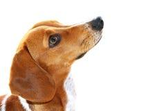 Perrito marrón y blanco lindo del perro basset que mira para arriba Imagenes de archivo