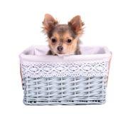 Perrito masculino de la chihuahua (del muchacho) en cesta azul Imagenes de archivo