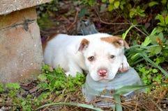 Perrito mezclado lindo del pitbull de la raza imágenes de archivo libres de regalías