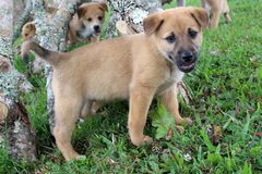 Perrito mezclado marrón lindo de la raza Imagen de archivo libre de regalías