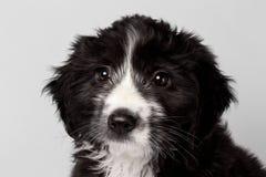 Perrito mezclado primer del negro de la raza que mira la compasión aislada imagen de archivo