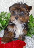Perrito minúsculo de Yorkie imagen de archivo libre de regalías