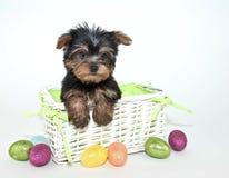 Perrito de Pascua Yorkie imagenes de archivo