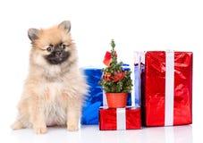 Perrito minúsculo del perro de Pomerania con la caja y el árbol de navidad de regalo Fotos de archivo