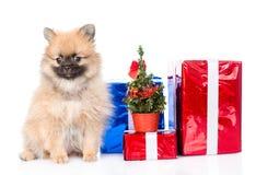 Perrito minúsculo del perro de Pomerania con los regalos de la Navidad Aislado en blanco Imagenes de archivo