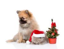 Perrito minúsculo del perro de Pomerania y gatito escocés con el sombrero y el árbol de navidad de santa Aislado en blanco Fotos de archivo