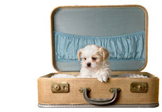 Perrito minúsculo en una maleta de la vendimia Imágenes de archivo libres de regalías
